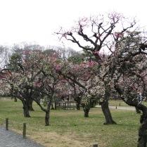 Fruit trees are everywhere! Nijo Palace, Kyoto