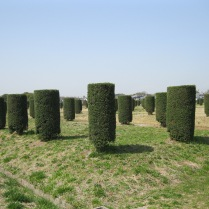 Trees to mark ancient pillars