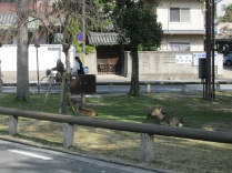 You know you're close to Nara Park when there are deer in the middle of the city