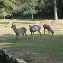 Nara deer