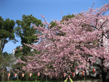 Cherry blossoms at Ueno!