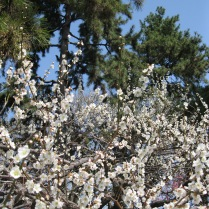 Flowering fruit tree in the Imperial Palace Garden in Kyoto (not cherry blossoms!)