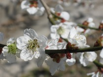 Plum or apricot blossoms