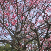 A stately plum (I think!) tree in the Imperial Gardens