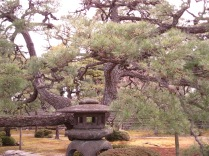 Interesting tree in Nijo Palace grounds