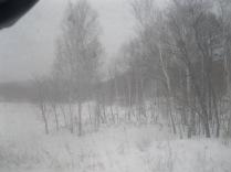 Birches in the taiga - more white!
