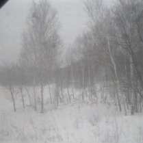 Birches in the taiga - more white!