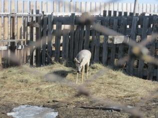 Deer at the datsan