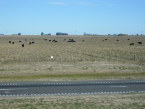 Cows in the pampas - looks like the US Midwest